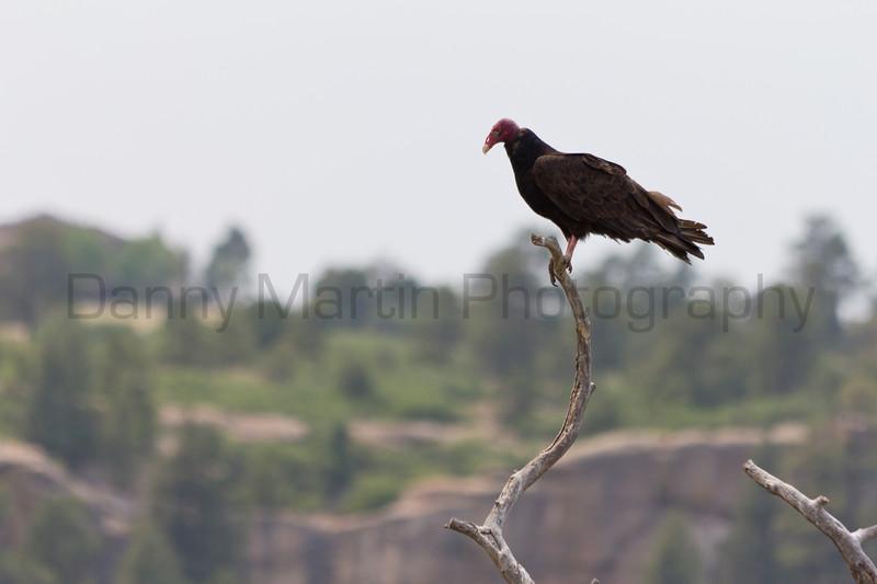 Turkey Vulture<br /> Douglas County, Colorado.