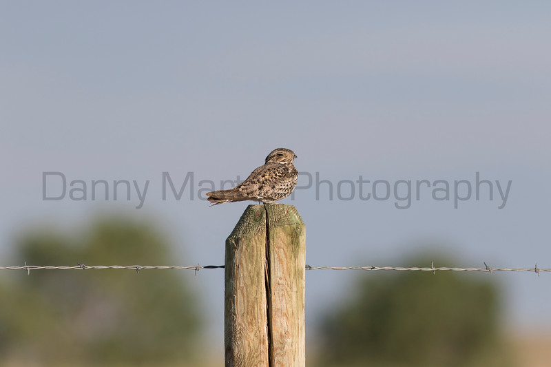 Common Nighthawk<br /> Weld County, Colorado