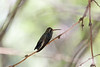 Broad-billed Hummingbird (subadult male)<br /> Pima County, Arizona