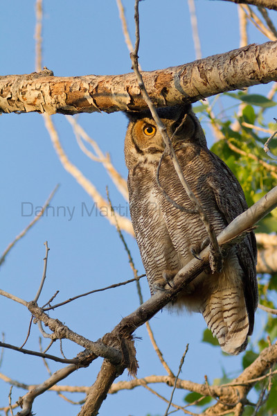 Great Horned Owl<br /> Bailey County, Texas.