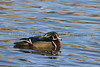 Wood Duck Arapahoe County, Colorado.