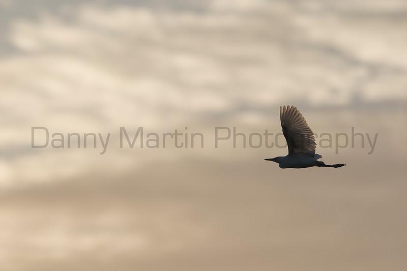Cattle Egret in flight, Tammany Parish, Louisiana