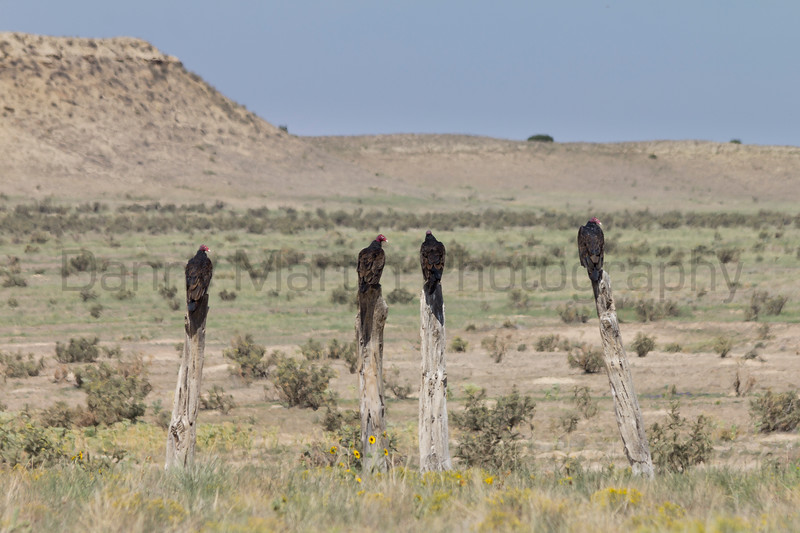 Turkey Vultures (adults and juveniles)<br /> Comanche National Grassland, Otero County, Colorado.