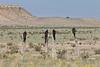 Turkey Vultures (adults and juveniles)<br /> Comanche National Grassland, Otero County, Colorado.