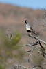 Gambel's Quail (male)<br /> Sonoran Desert of Pima County, Arizona.