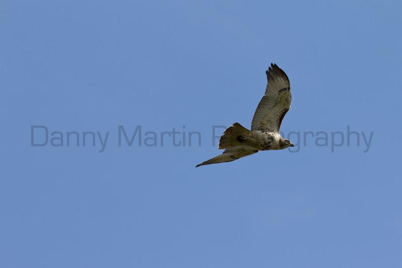 Red-tailed Hawk<br /> Barton County, Kansas.