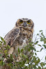 Great Horned Owl<br /> Muleshoe National Wildlife Refuge, Texas