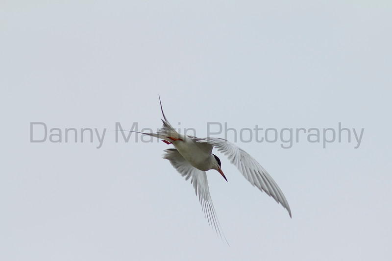 Forster's Tern<br /> Jackson County, Colorado.