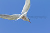 Forster's Tern in flight<br /> Jackson County, Colorado.