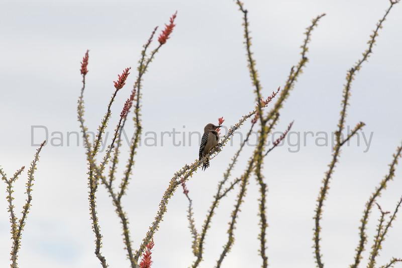 Gila Woodpecker on ocotillo<br /> Pima County, Arizona