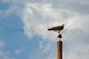 Swainson's Hawk on telephone pole<br /> Comanche National Grassland, Otero County, Colorado.
