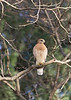 Red-shouldered Hawk<br /> Fulton County, Georgia.