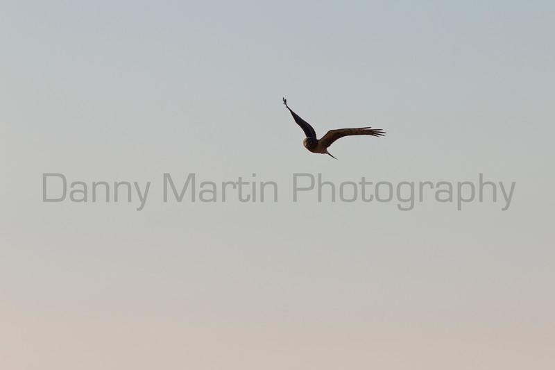 Northern Harrier (female hunting)<br /> El Paso County, Colorado.