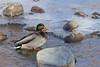 Mallard<br /> Poudre River, Larimer County, Colorado.