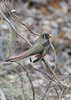 Elegant Trogon (female)<br /> Cochise County, Arizona