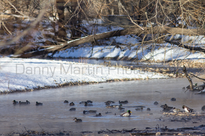 Mallards & American Wigeons & Green-winged Teal<br /> Poudre River, Fort Collins, Colorado