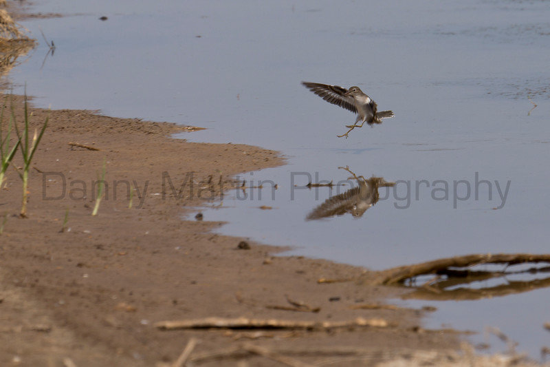 Spotted Sandpiper<br /> Bailey County, Texas