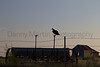 Turkey Vulture at sunset.<br /> Childress County, Texas.