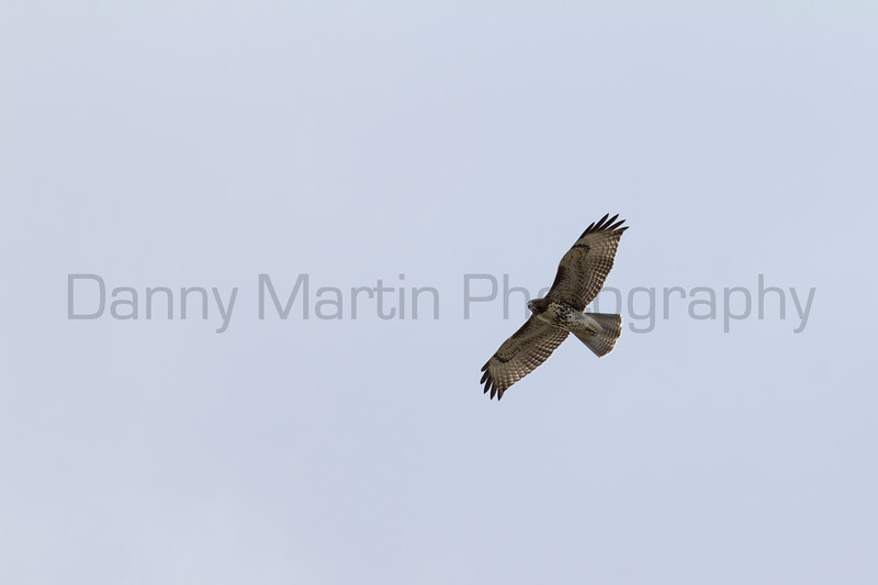 Red-tailed Hawk<br /> Las Animas County, Colorado