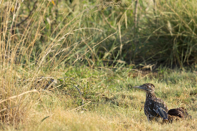 Greater Roadrunner (juvenile)<br /> Briscoe County, Texas.