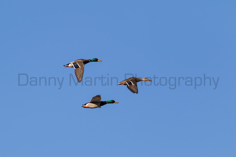 Mallards<br /> Larimer County, Colorado