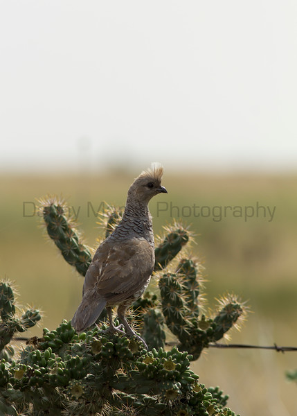 Scaled Quail (male), perched on cholla<br /> Las Animas County, Colorado.