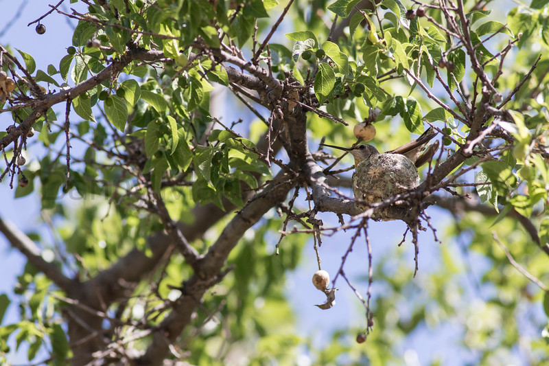 Hummingbird on nest<br /> Santa Cruz County, Arizona