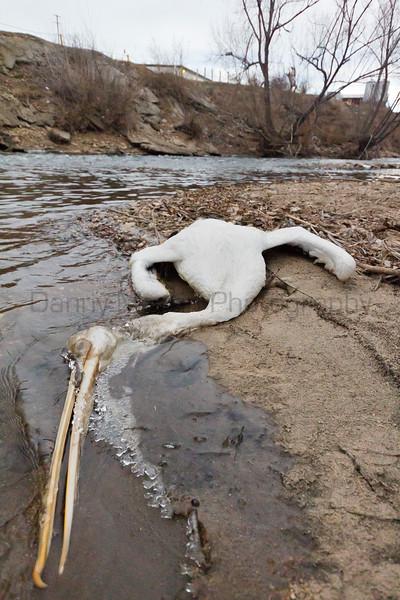 American White Pelican (mortality)<br /> Poudre River, Larimer County, Colorado