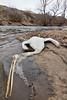 American White Pelican<br /> Poudre River, Larimer County, Colorado.