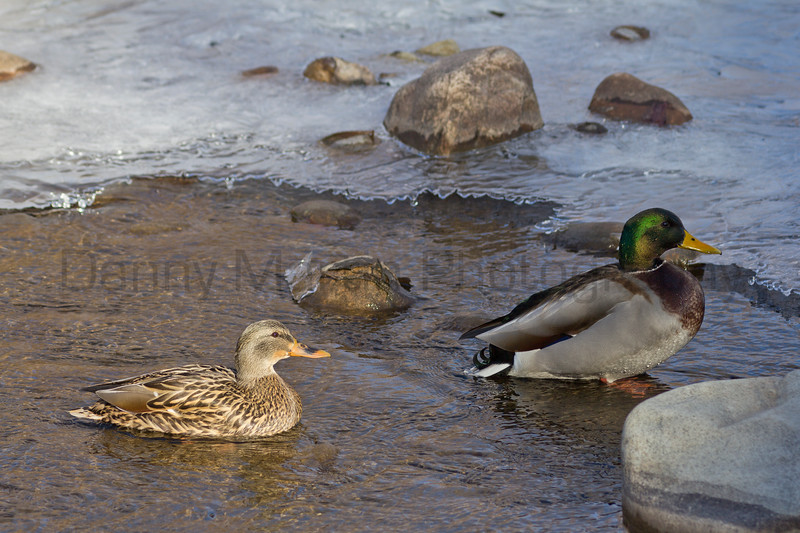 Mallards<br /> Poudre River, Larimer County, Colorado.