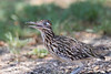 Greater Roadrunner (juvenile)<br /> Randall County, Texas