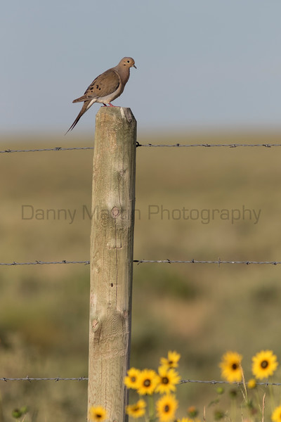 Mourning Dove calling on fence post<br /> Weld County, Colorado