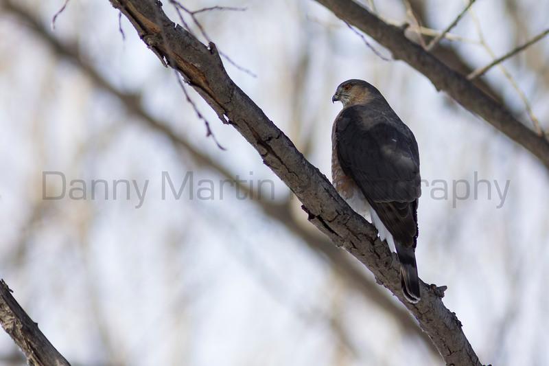 Cooper's Hawk<br /> Fort Collins, Larimer County, Colorado