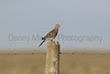Mourning Dove on fence post<br /> Weld County, Colorado