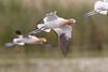 American Avocets in flight<br /> Pima County, Arizona