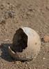 Sandhill Crane egg<br /> Bailey County, Texas