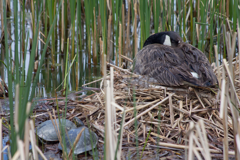 Canada Goose, on nest, with Western Painted Turtles basking.  Boulder County, Colorado.