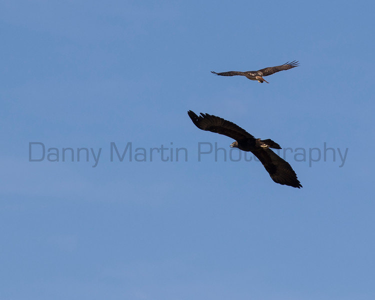 Red-tailed Hawk harassing a Golden Eagle<br /> Pima County, Arizona