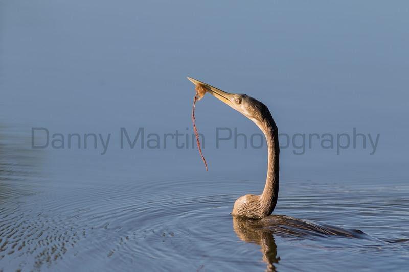 Anhinga (American Darter) swimming<br /> Tammany Parish, Louisiana