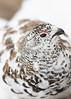 White-tailed Ptarmigan<br /> Clear Creek County, Colorado