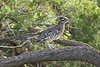 Greater Roadrunner with Prairie Lizard prey<br /> Randall County, Texas