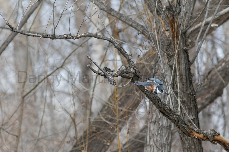 Belted Kingfisher diving<br /> Larimer County, Colorado