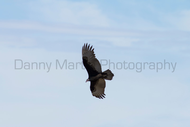 Turkey Vulture (subadult)<br /> Las Animas County, Colorado