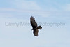 Turkey Vulture (subadult)<br /> Las Animas County, Colorado