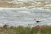 American Avocet foraging<br /> Jackson County, Colorado.