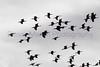White-faced Ibis in flight<br /> Arizona