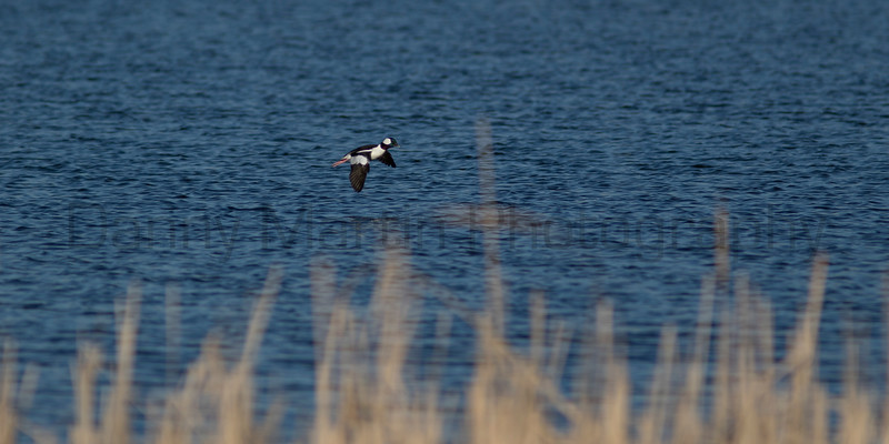Bufflehead<br /> Larimer County, Colorado