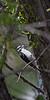 Downy Woodpecker, foraging<br /> Boulder County, Colorado