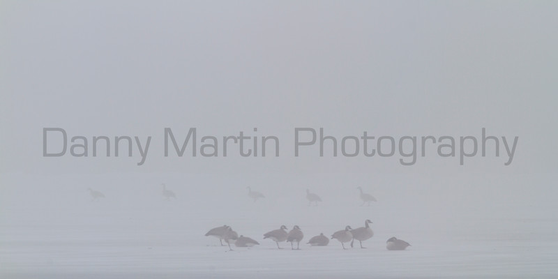 Canada Geese in fog<br /> Larimer County, Colorado