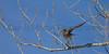 American Kestrel launching...<br /> Fort Collins, Colorado